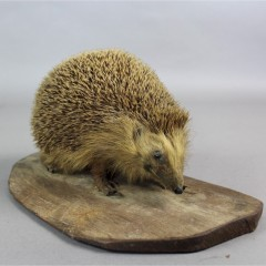 Taxidermy hedgehog on wooden plinth